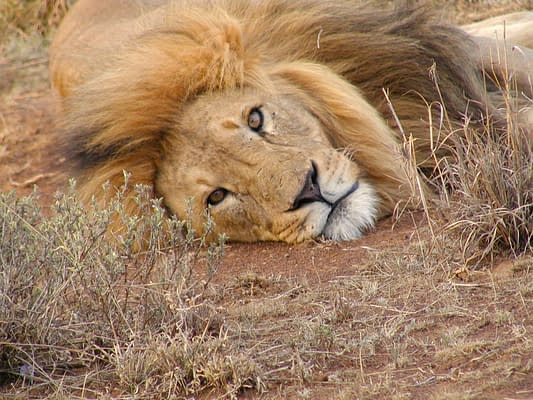 Close up of male lions head laying on the ground