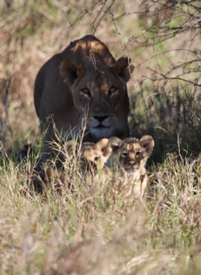 Lioness in the shadows, walking behind two of her cubs in grass land