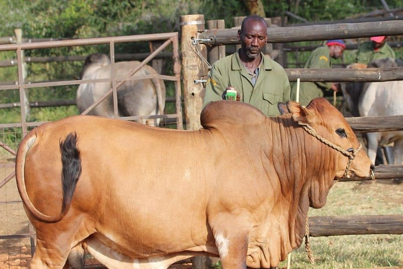Brown Boran cattle being tended to