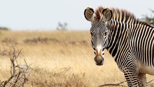Single zebra side on, tilting head toward the cameta, surrounded by grassland