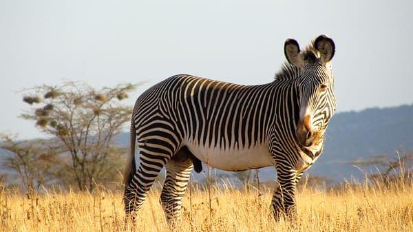 Grevy Zebra in the grassland, shadowed