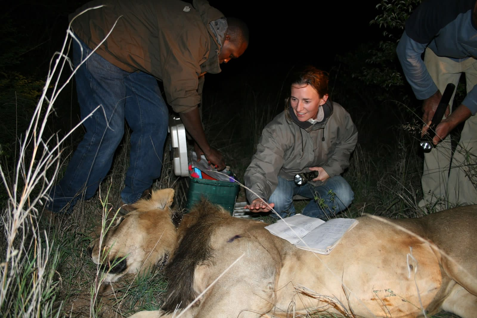 Conservation team collaring a sedated lion at nightime