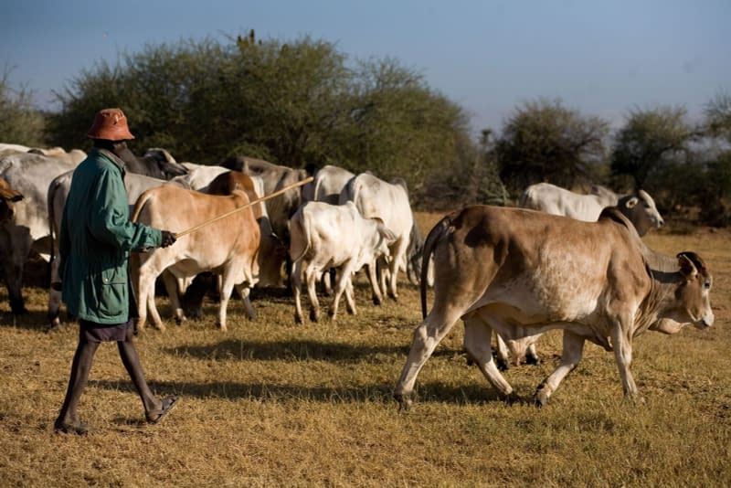 Boran cattle being herded