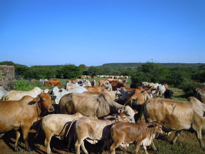 herd of Boran Cattle stretching into the background