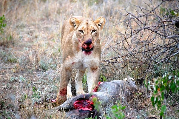 Lioness with her prey, looking at camera