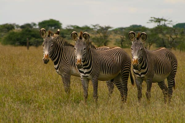 three zebra standing in grassland looking at the camera