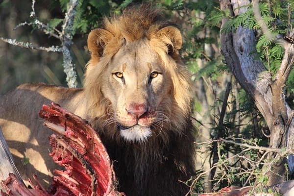 Lion with his prey, looking at camera