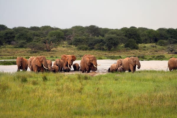 Herd of elephants emerging from the water onto grassland