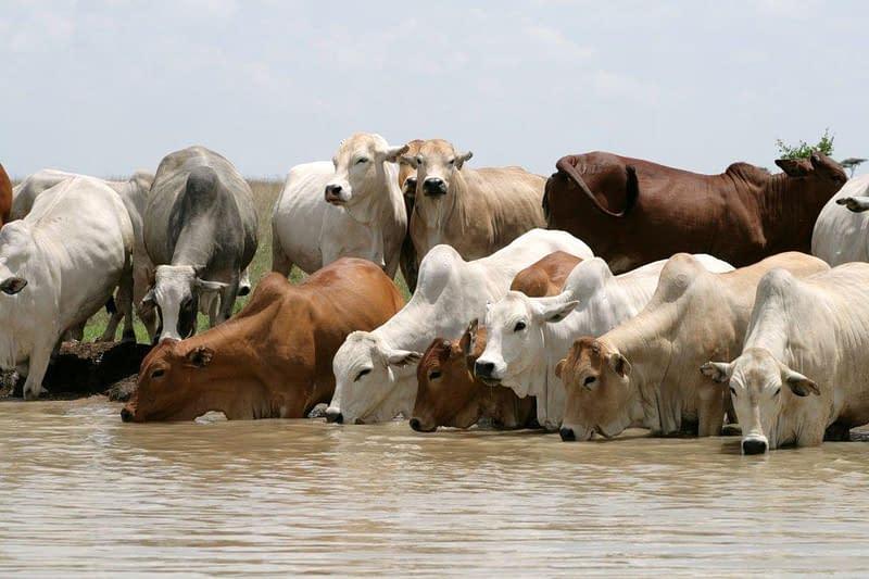 Boran cattle herd drinking at the waterhole