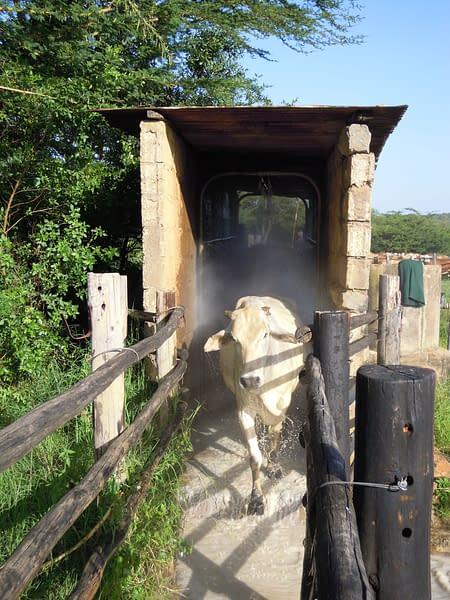 Cow walking through shelter