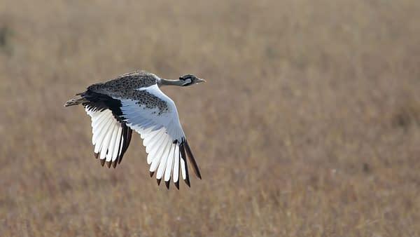 Shot of a Bustard flying across grassland