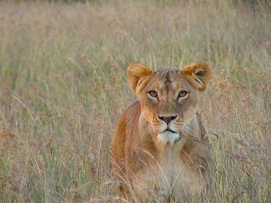 Lioness sat in the grassland
