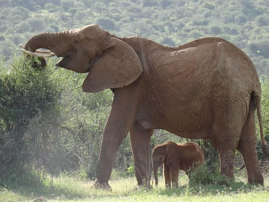 large elephant eating from a tree with calf stood underneath her