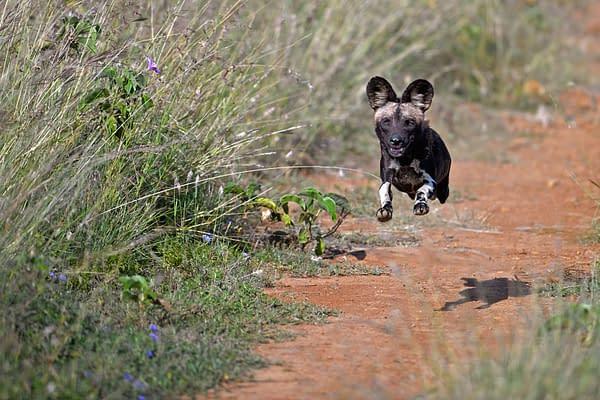 wild dog bounding down a path, mid air shot