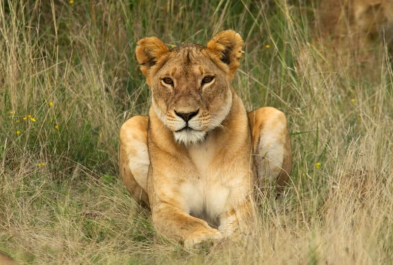 Lioness sat peacefully in the long grass, looking towards the camera