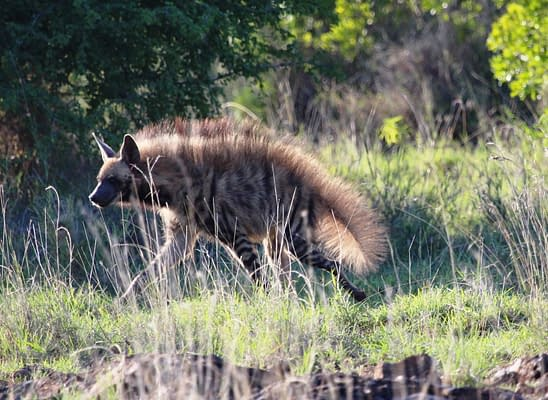 Side profile of striped hyena in the grass