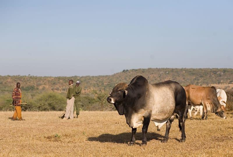 Boran cattle grazing on grassland