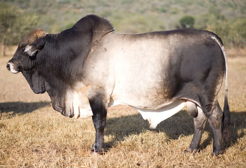 Side profile of one of the Boran Cattle at Sosian Ranch