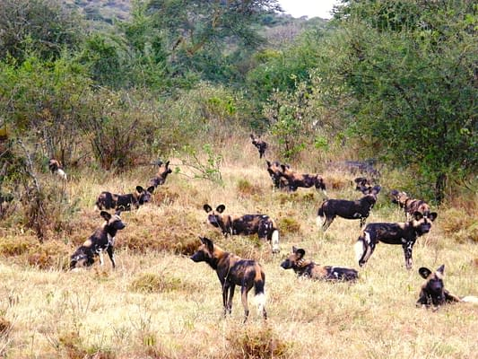 gallery wild dogs