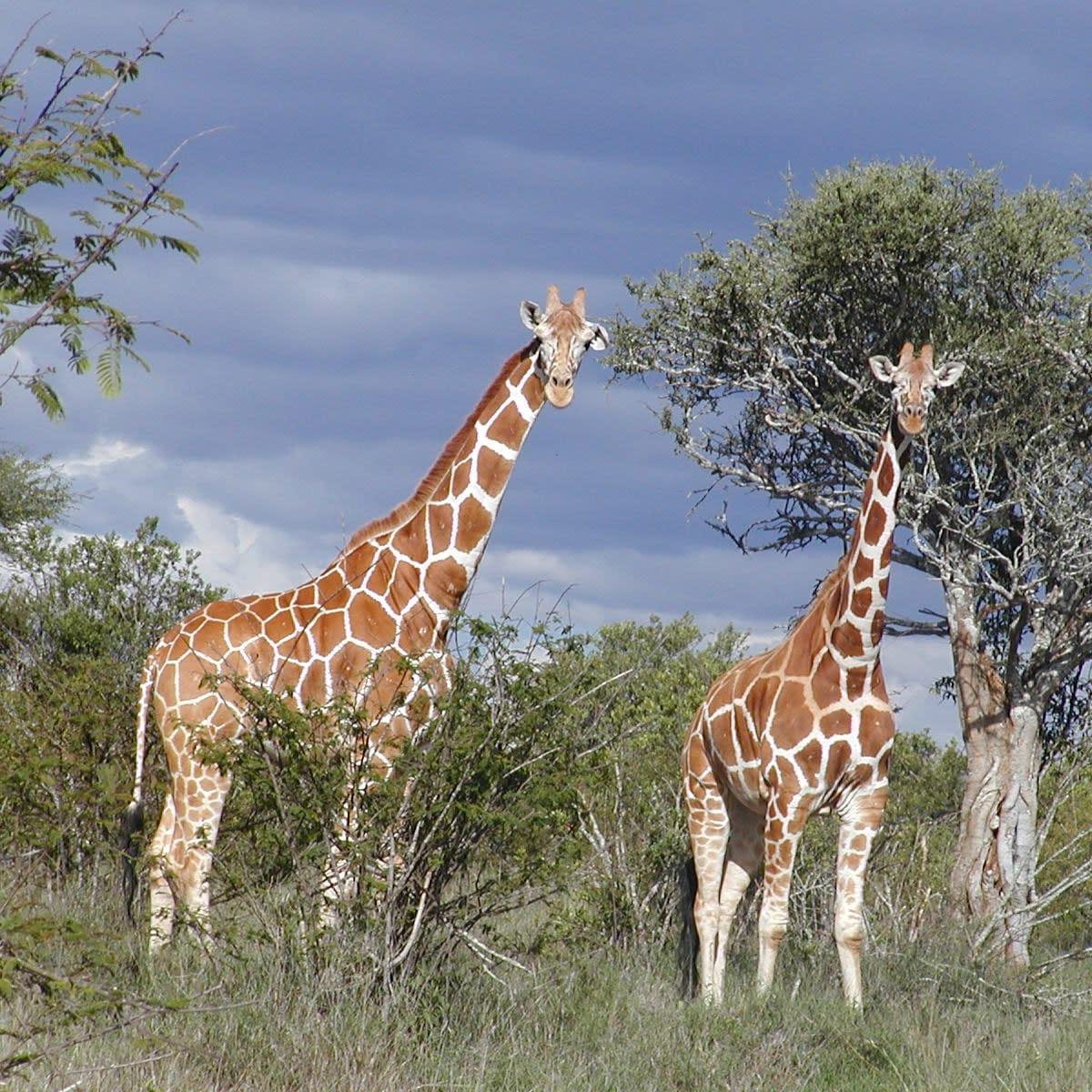2 giraffes standing in the bush