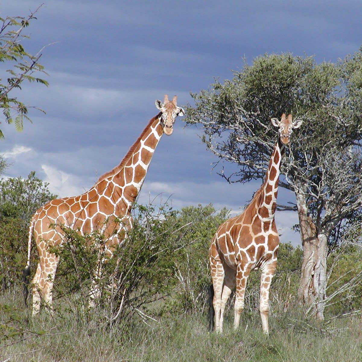 2 giraffe stood by a tree looking at camera