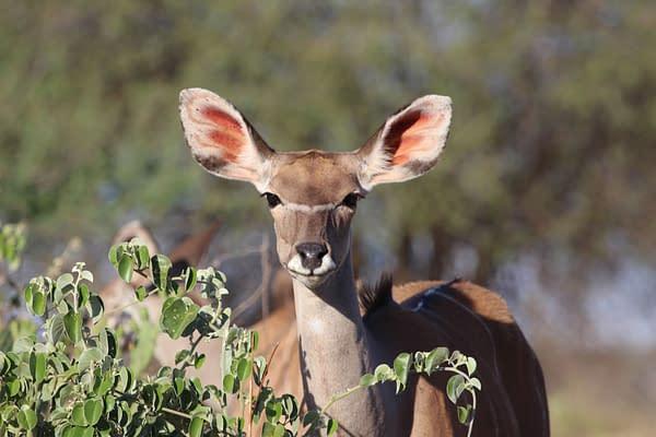Female Kudu (antelope) looking at camera through the bushland