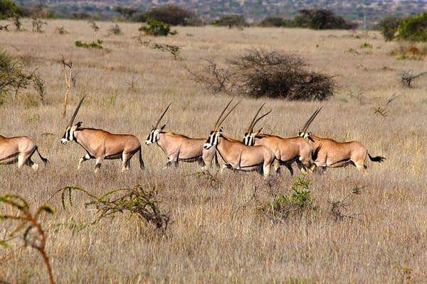 herd of Oryx crossing the grassland