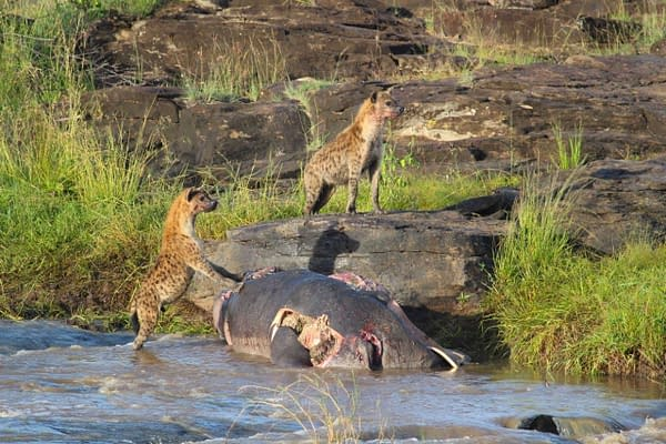 2 hyenas have just finished their lunch
