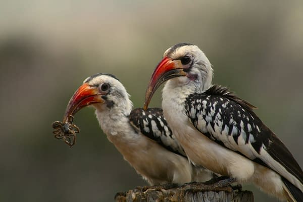 2 red-billed hornbills perched on tree stump
