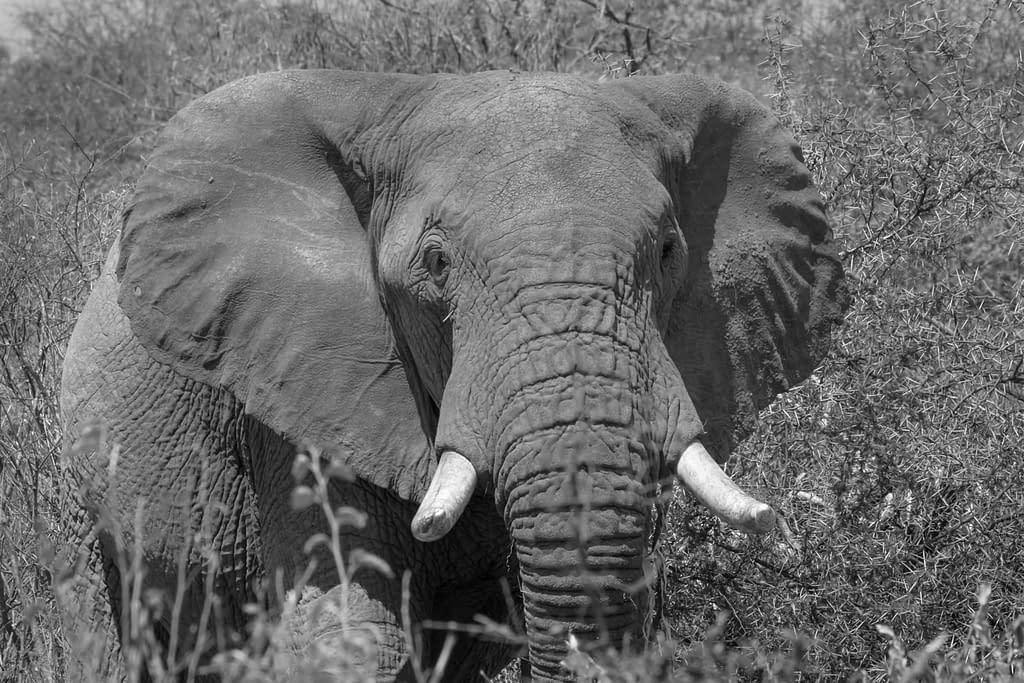 Black and white close up of elephant