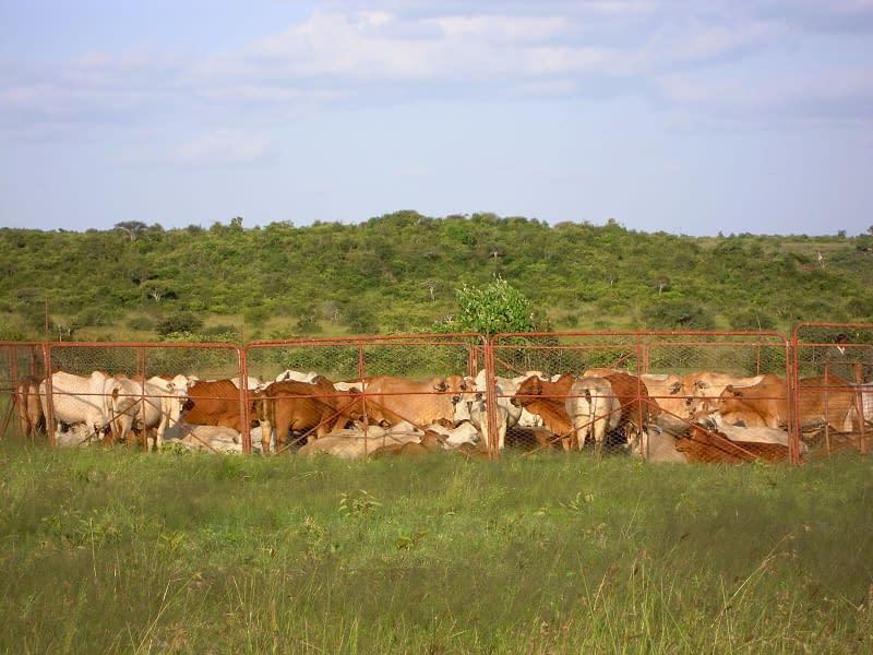 cattle grazing on lush grass