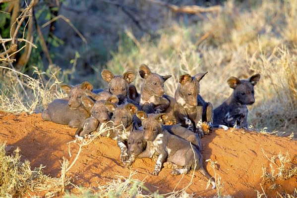 Several tiny wild dog puppies sat together on the ground