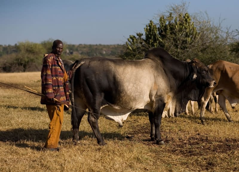 Herder and Boran cow stood by the bushland