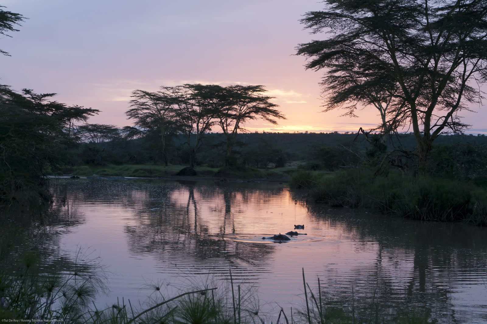 Hippos in the Sosian river at sunset
