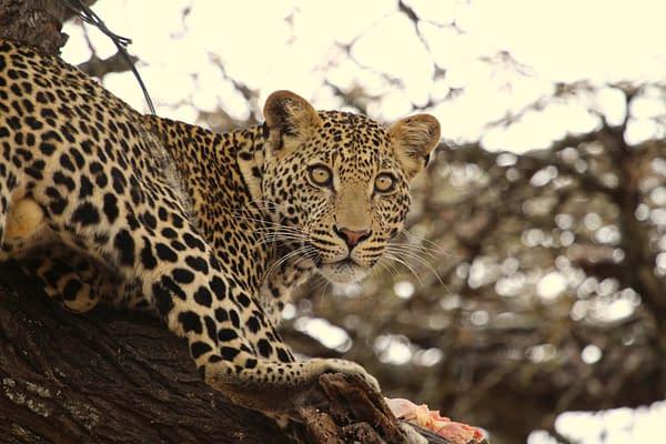 Wide-eyed leopard lying in a tree