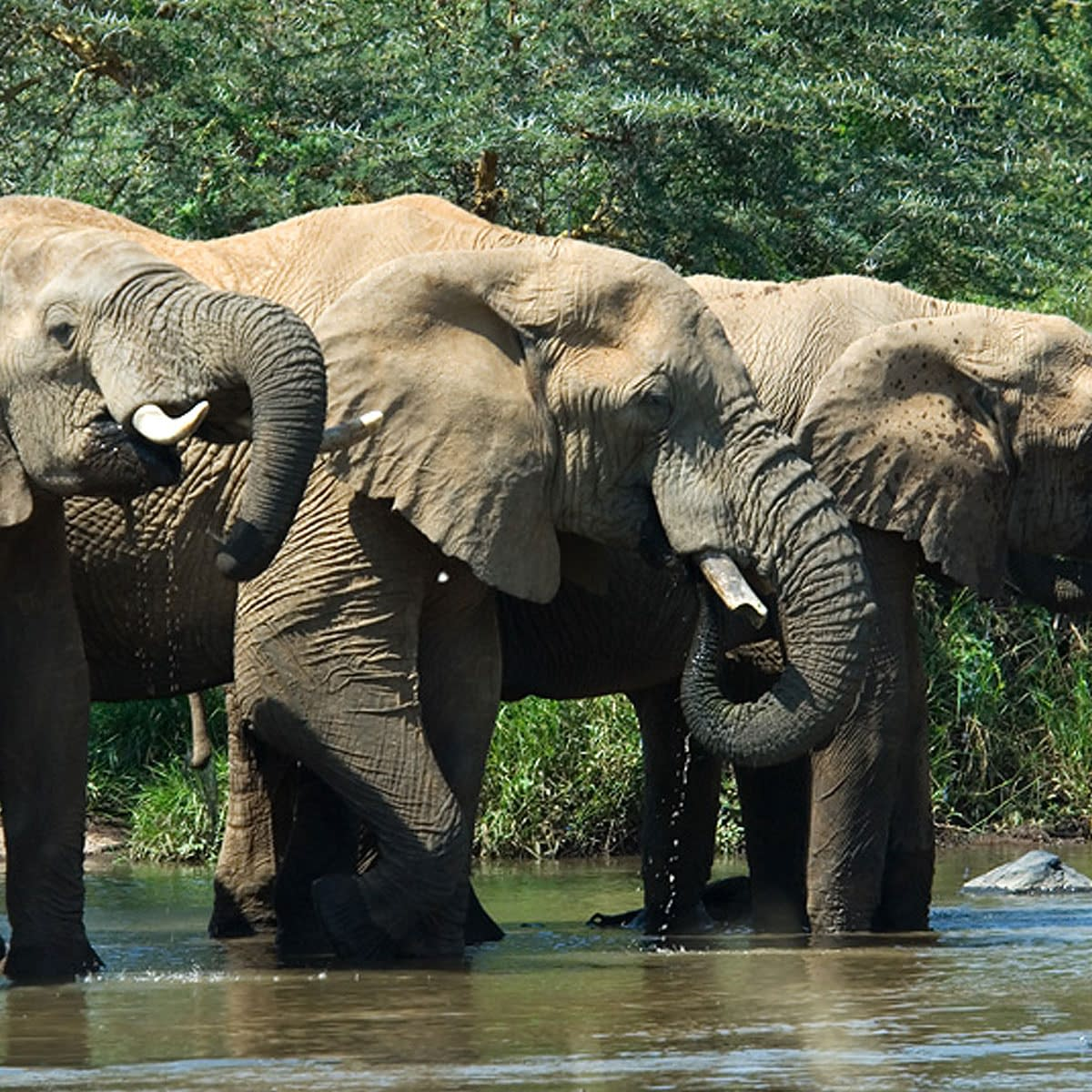 3 elepahnts drinking from the waterhole