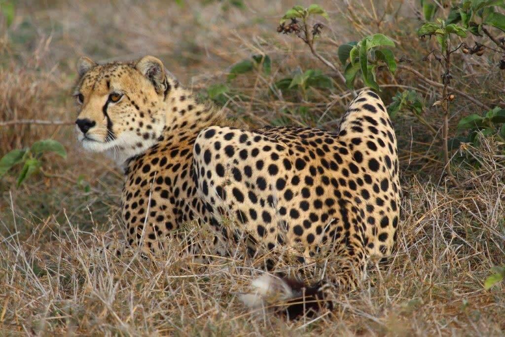 Cheetah sat in the undergrowth