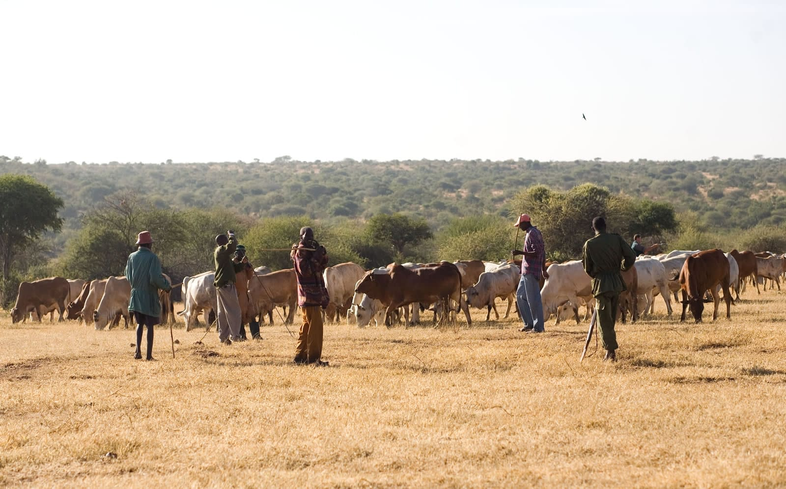 cattle grazing and being watched by the team