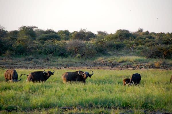 Buffalo grazing in the lush grass