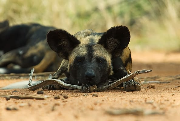 Wild dog lying on the path, chin on a branch, looking at camera